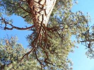 P1110609lotsoflargebristleconetreesonthistrail
