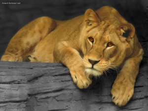 Lioness_2