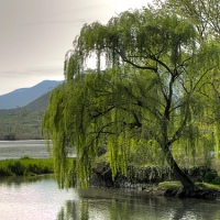 Native American Osage tribe: Wisdom of the Willow Tree