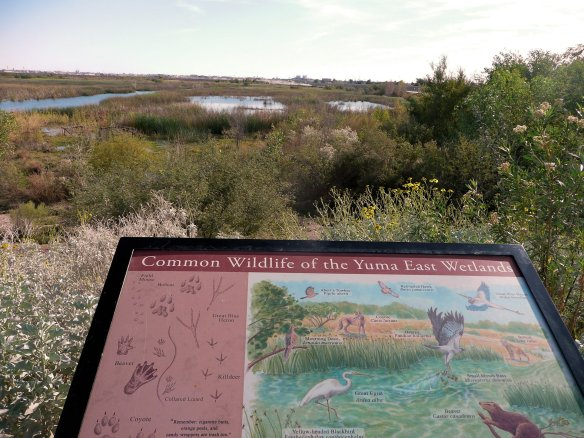 11-yuma-east-wetlands-beartracksblog